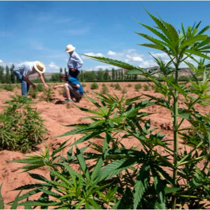 Change in hemp law fuels 'green gold rush' - Read full article HERE