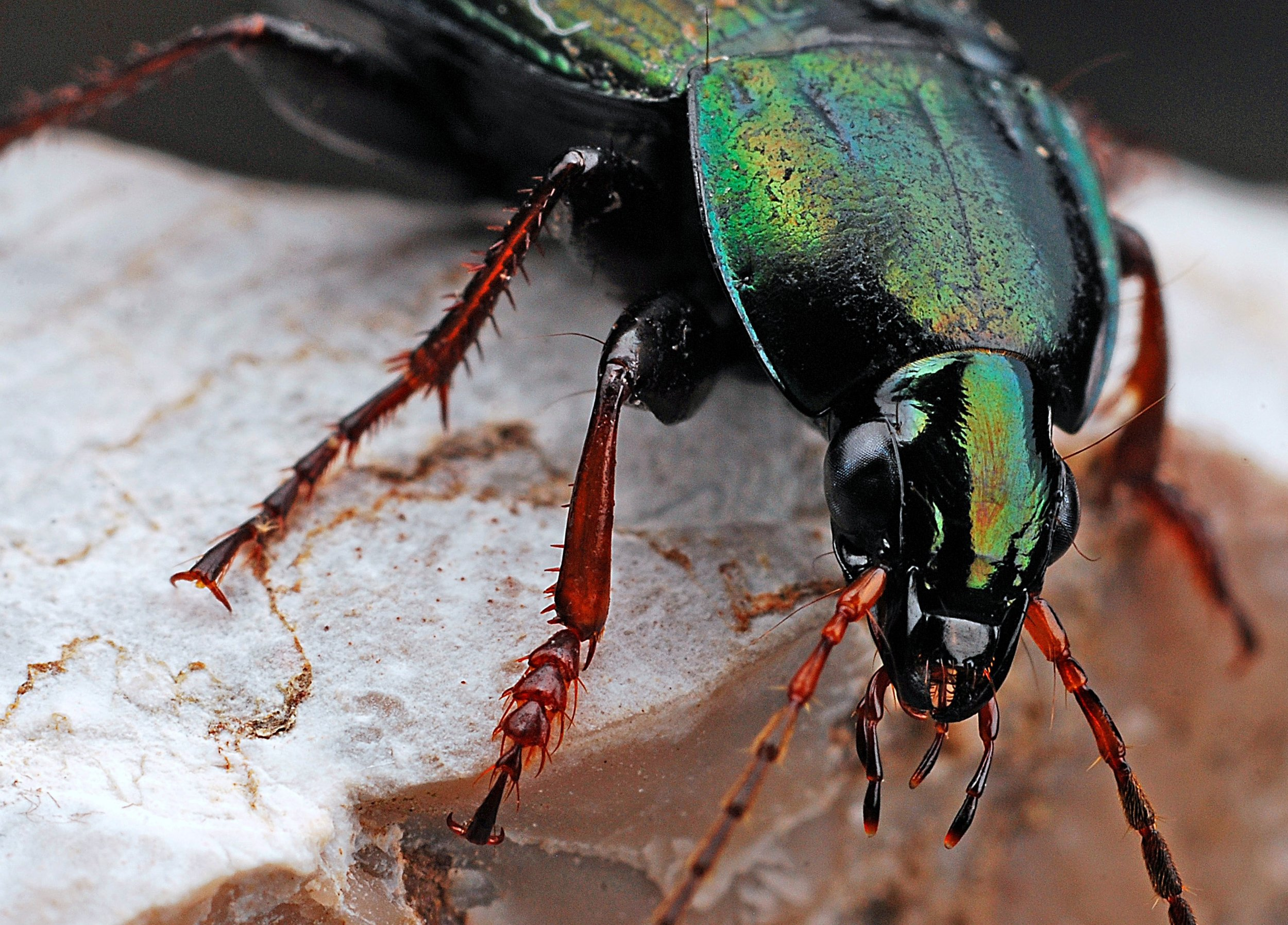 Wood Boring & Powder Post Beetles