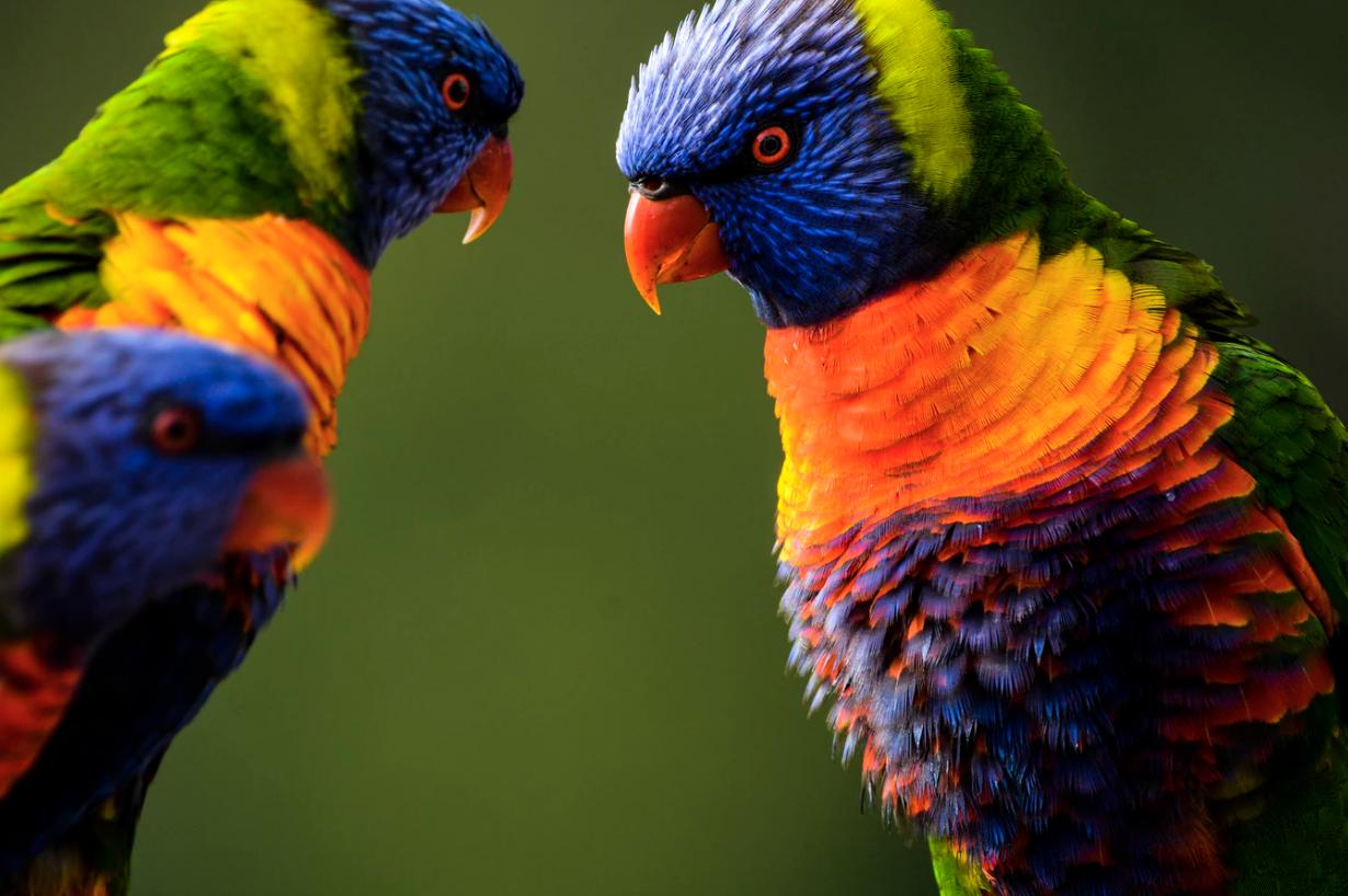wildlife parakettes