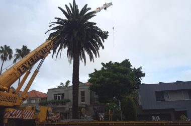 Fig Tree removal at Bellevue Hill