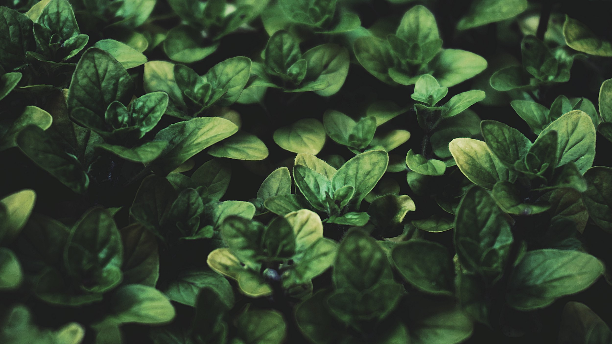 basil-botanical-close-up-2334636.jpg