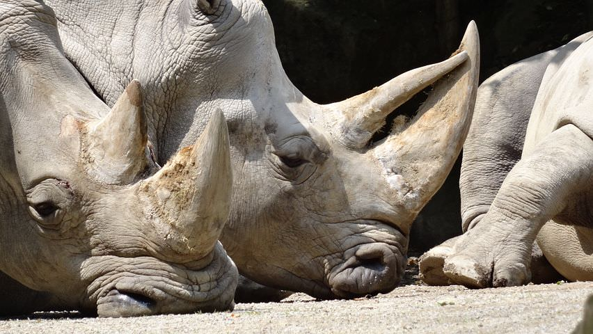 This picture shows white rhinos relaxing in the sun. It is devastating to know that so many rhinos at attacked by poachers for their horns.