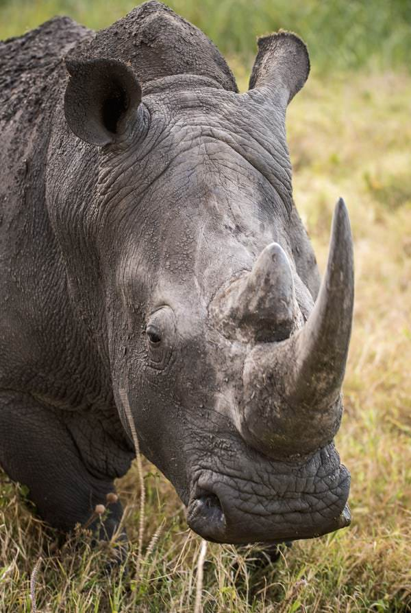 This white rhino has covered it self in mud to help keep it cool during the hot temperatures.