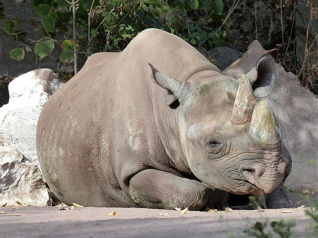 This black rhino has also covered it self in mud to keep it cool and protect its skin from the sun.