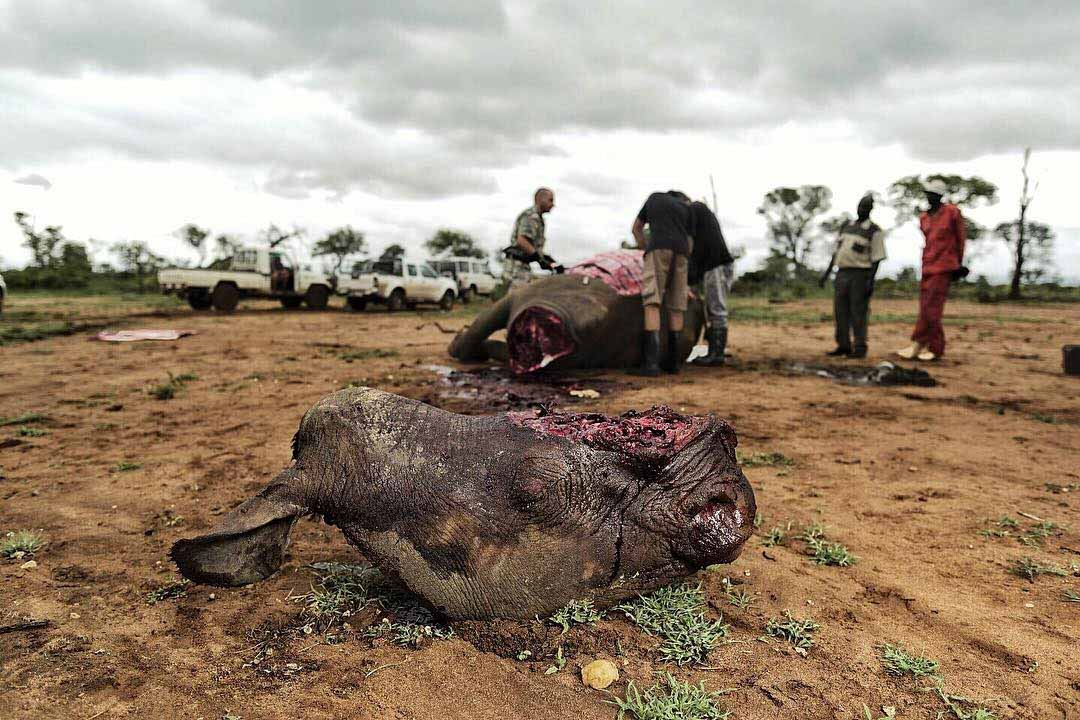 Victim of Rhino Poaching.jpg