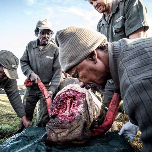 This picture shows how poachers have cut half this rhinos face off just to steal the horns. Fortunately, it was discovered in time and is being moved for medical treatment to try to save its life.