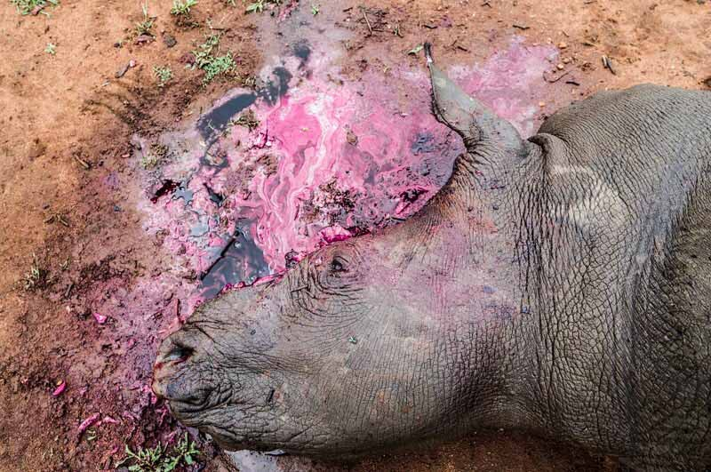 Poachers removed both of this rhinos horns and killed it in the process,