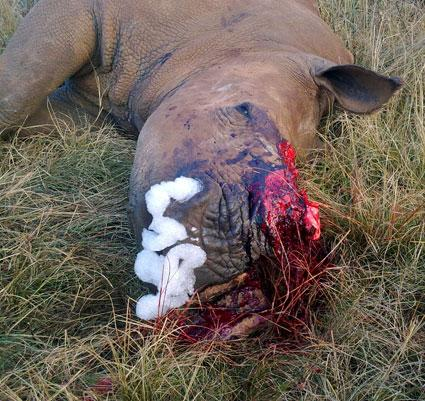 Rhino Missing Half its face - Poachers.jpg