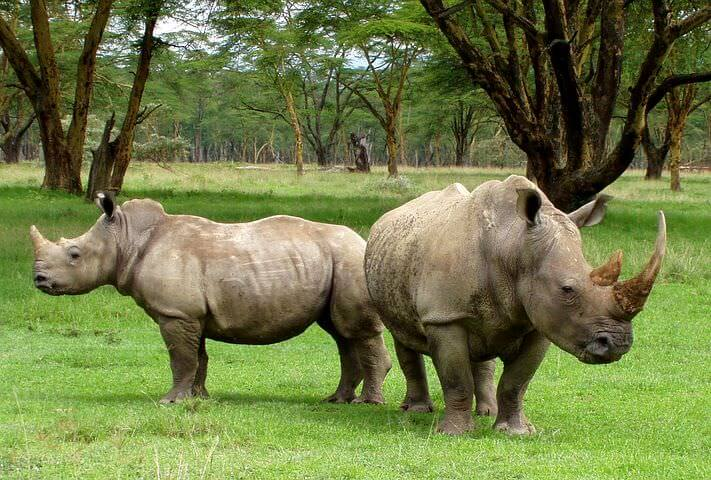 "This picture shows rhinos with their horns in place unlike some other ""Rhino saving"" campaigns, which can involve dehorning."