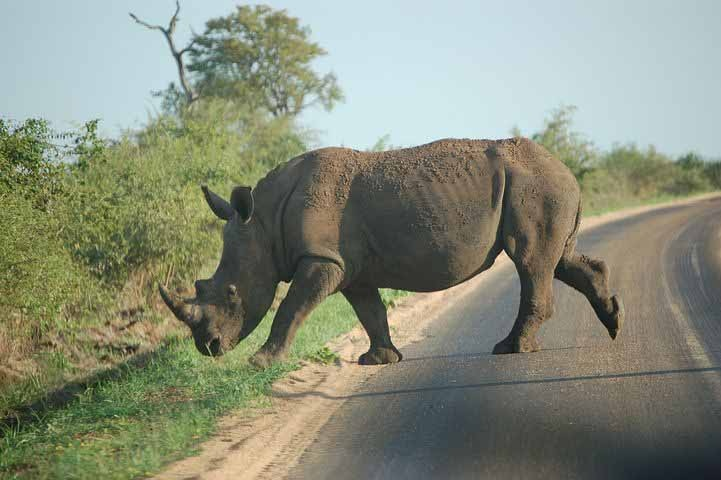 Rhino Crossing the Road