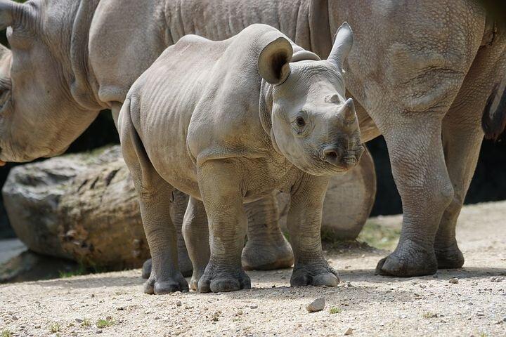 Cute baby rhino picture.