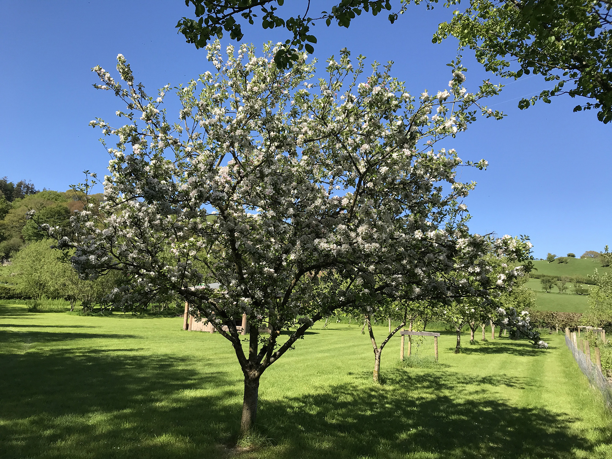 Camping - apple trees in blossom