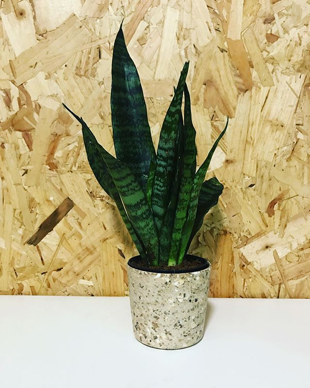 Love this new Black Coral for the office looking fab in our Coffee Husk Mini !! HatePlastic.LoveHusk  Madewithhusk.com  #ecofriendly #biodegradable #coffee #husk #noplastic #indoorplants #officedecor #officeplants #officeplantsofinstagram #plants #plant #plantmum #succulents #succulentsofinstagram #startup #plantpot #plantpotsofinstagram