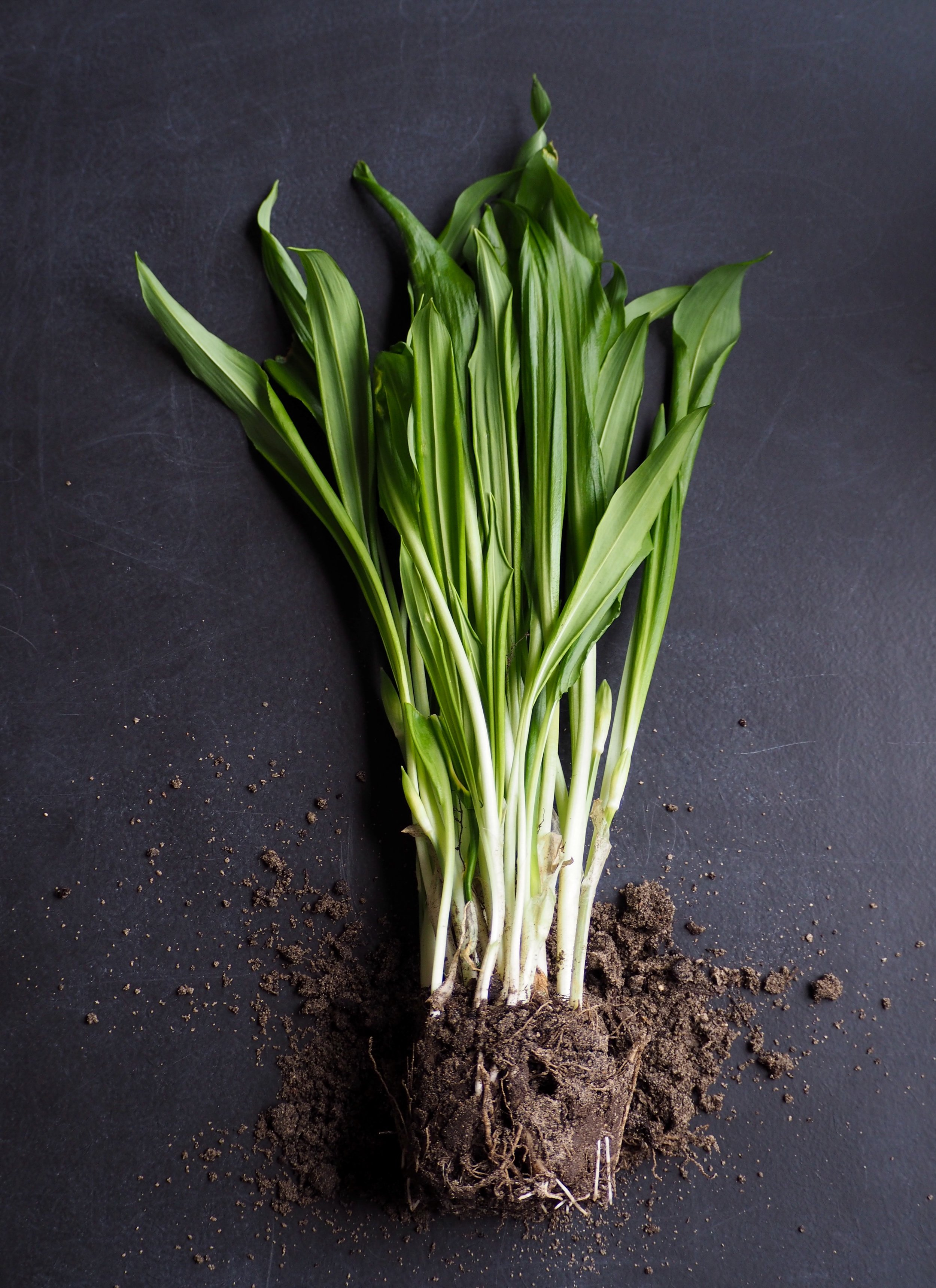 Ramps from the forest - Ramps grow in the first few weeks of spring before the canopy of the trees above shades the forest floor and limits the reach of the sun. You can find them at most farmers markets in early May.
