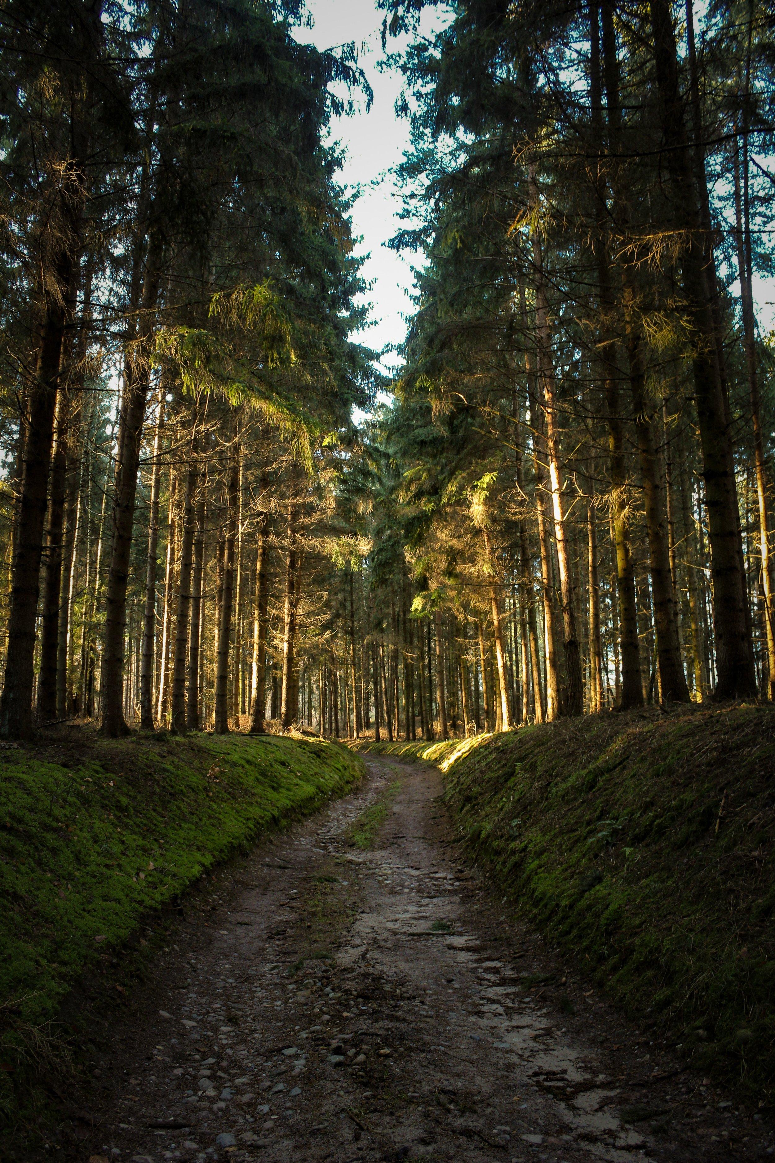 conifer-coniferous-trees-environment-2254030.jpg