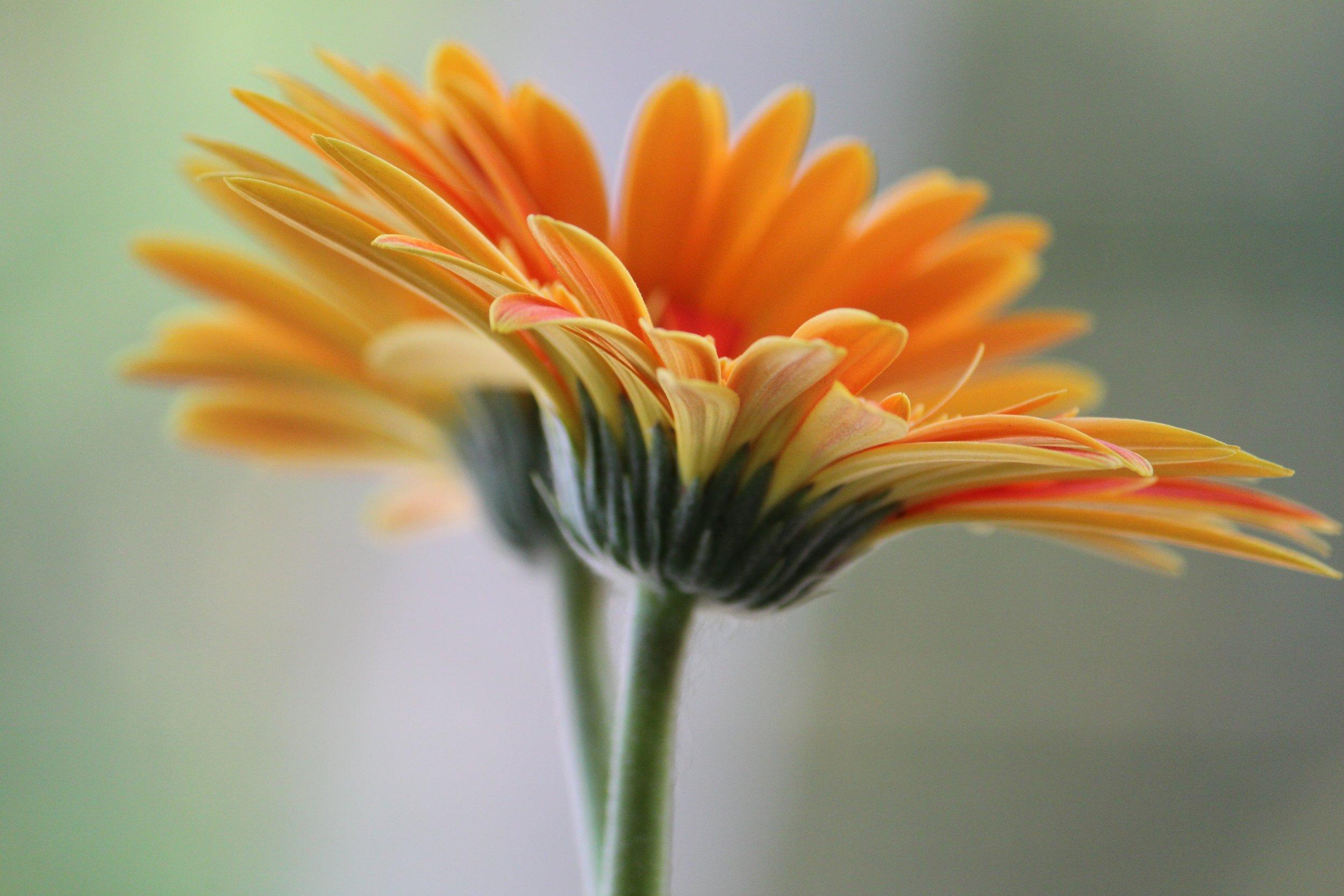 daisy-434695.jpg