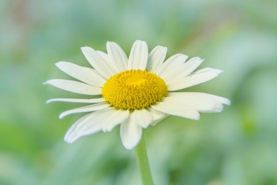 white_daisy_514101.jpg
