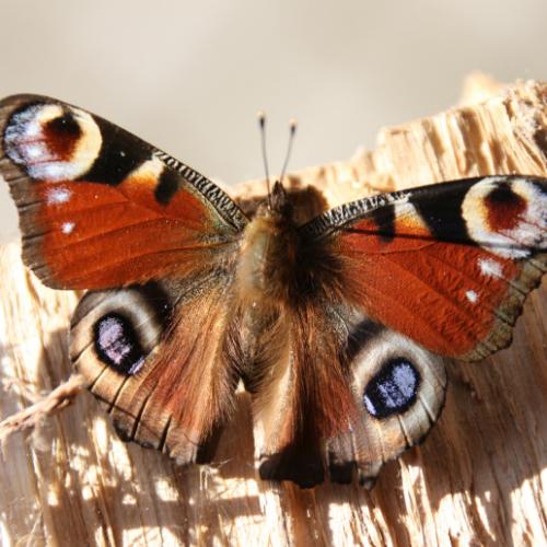 Butterflies (3).png