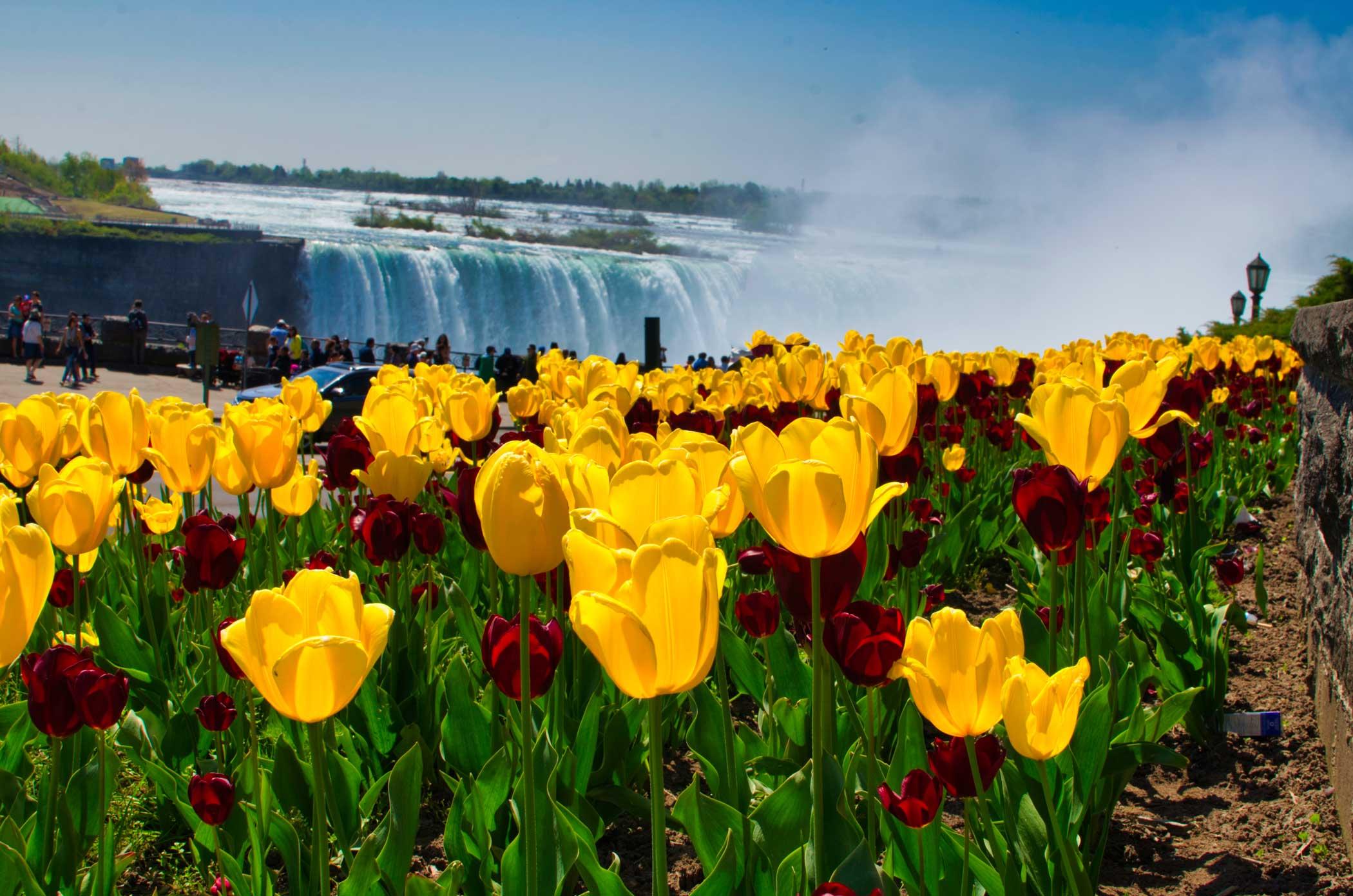 Niagara tulips beside Horseshoe Falls