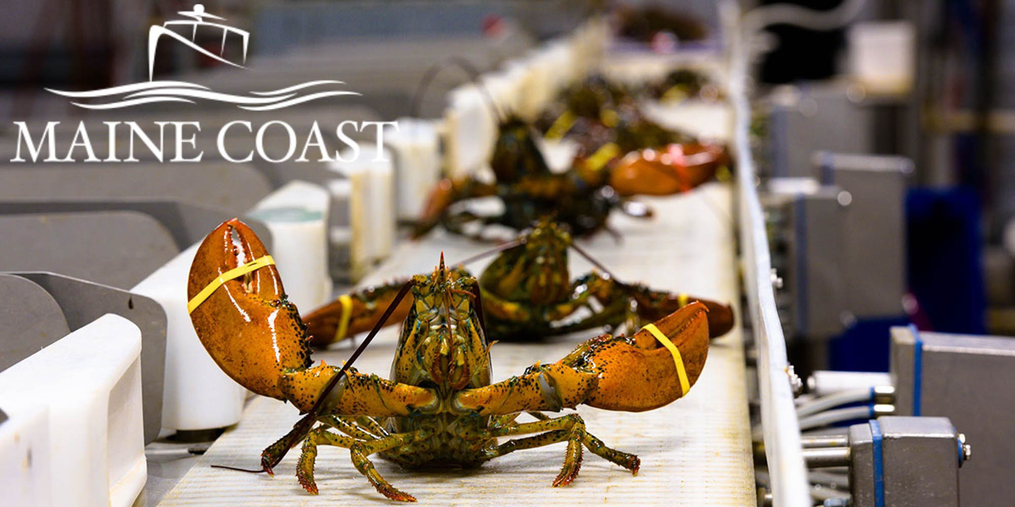 Our lobster comes from independent lobstermen throughout the coast of Maine and Atlantic Canada who follow strict guidelines to ensure the quality and sustainability of this natural resource. The Maine and Canadian lobster fisheries operate with complementary seasons, providing Maine Coast with a steady year-round supply of the finest hard shell and new shell lobster in the world.