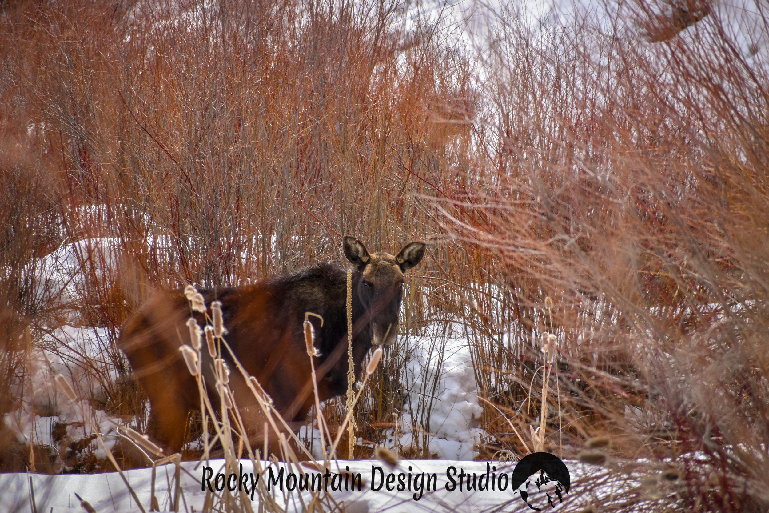 Bruce the Moose!