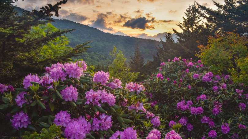 Rhododendrons bloom along an area of Western North Carolina. Article by  Mark File .