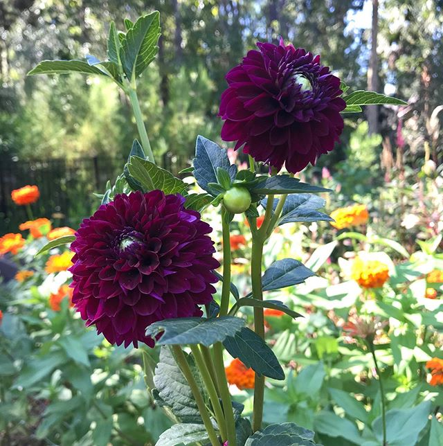 There was just a hint of coolness this morning.... a tiny little reminder that fall is slowly coming.  The Dahlias in the cutting garden are starting to sense it too. #cuttinggarden #centralflorida #centralfloridaflowers #centtalfloridaflowerfarm #fallflowers #localflowers #whogrewyourflowers #lakemaryfl #sanfordfl #enterprisefl #dahliajessieg