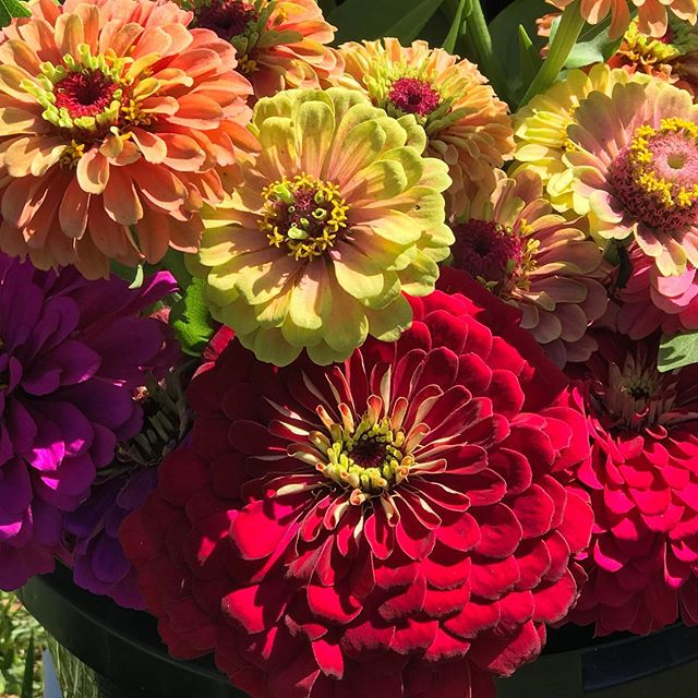 All the colors!  Headed to @rosieleeco today.  If you are taking part in the Sanford Wine Walk tonight, stop in at Rosie Lee Co and grab a bouquet! #sanfordwinewalk #sanfordfl #shoplocal #localflowers #lakemaryflowers #lakemaryfl #locallygrown #centralfloridaflowers #centralfloridaflowerfarm