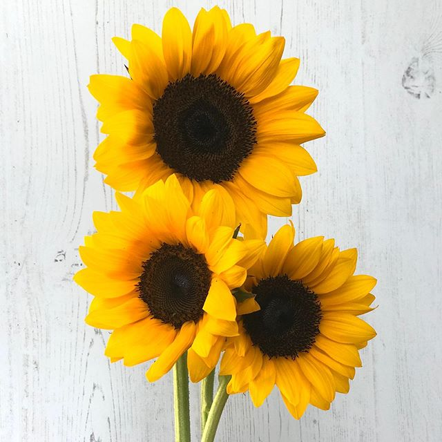 Cute as a button!  #sunflowers #locallygrown #centralfloridaflowers #centralfloridaflowerfarm #floridaflowerfarm #lakemaryfl #sanfordfl #enterprisefl #volusiacountyflowerfarm #fallflowers #whogrewyourflowers  #fieldtovase #slowflowers