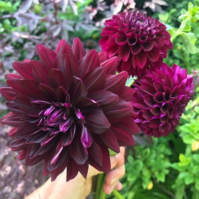 Dahlias.  I'm working out in the cutting garden today,deciding on which Dahlias are keepers and moving my top picks up to the farm.  As the Plant Tag Fairy has been visiting again, along with Sock Fairy and Car Key Fairy, I'm not sure which ones these are but I'm guessing Hollyhill Black Beauty and Jessie G.  Anyway they make the grade! #dahlias #lakemaryfl #lakemaryflowers #cutflowers #cuttinggarden #centralfloridaflowerfarm #weddingflowers #localflowers #floridaflowers