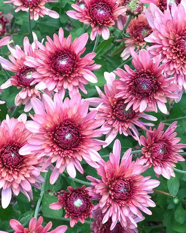 Just love this color! #heirloommums #royalglamour #fallcolors #centralflorida #centralfloridaflowerfarm #localflowers #whogrewyourflowers  #localfarm #grownnotflown