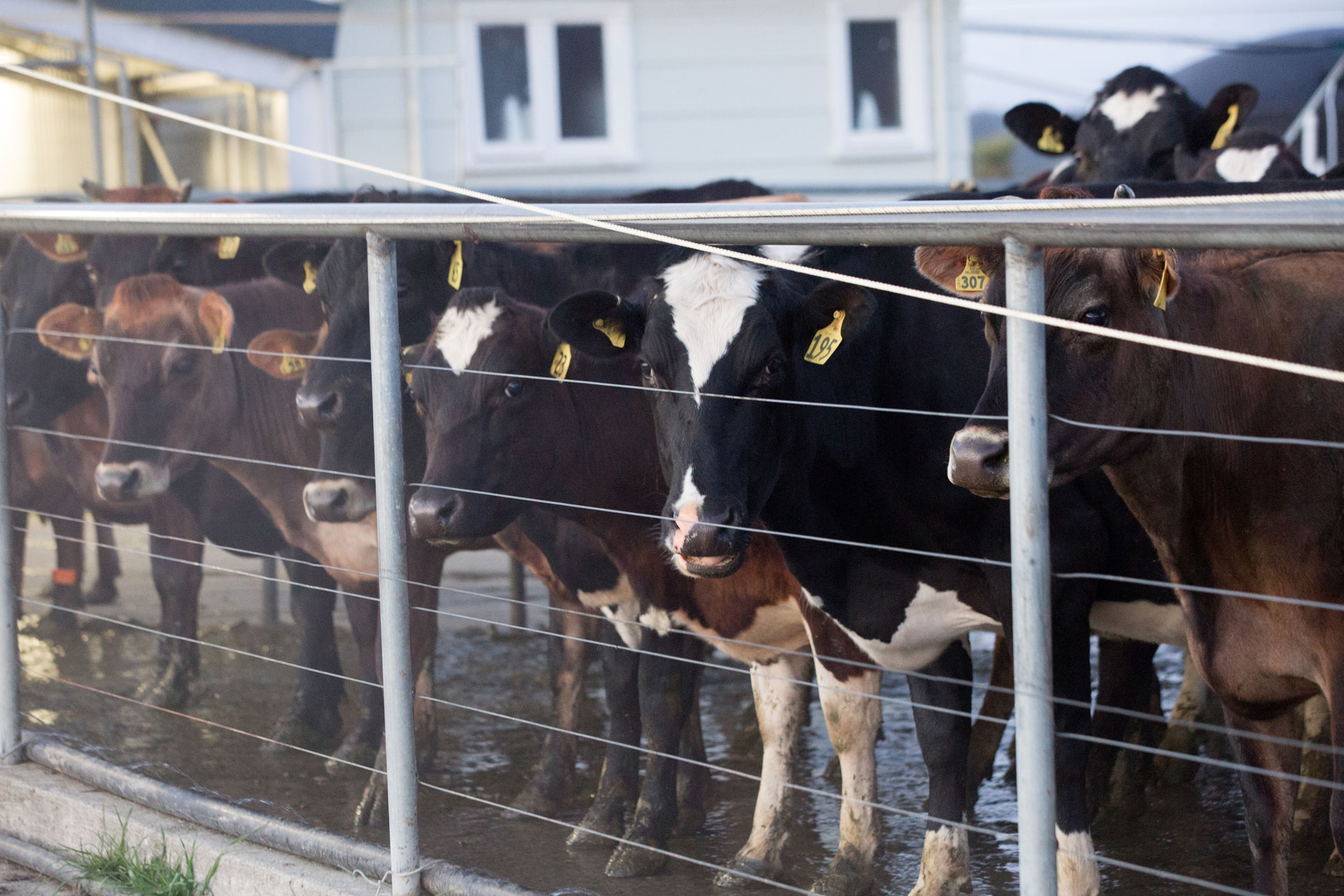 Clearwater-Farm-Our-Farm-Cows.jpg