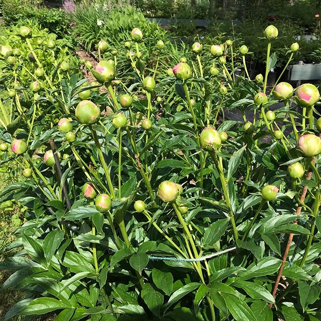 Peony Princes Margaret. They are so close to blooming! Just look at all those buds. Cain's wait to see all the blossoms. #peony #peonyVT #perennials #hosta
