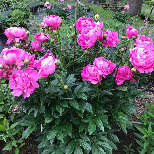 Every thing is blooming including Princess Margaret. #peony #princessmargaretpeony #summer #summerflowers