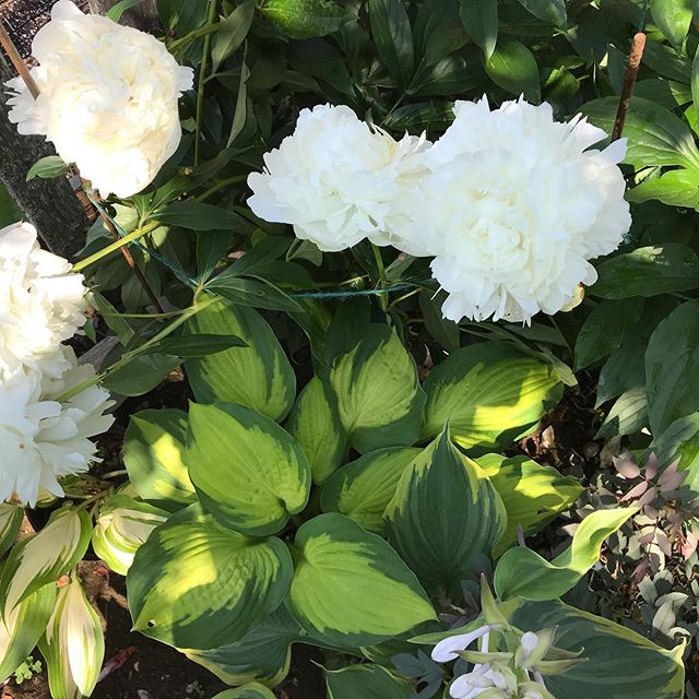 Our perennials peonies & hostas are on  SALE until 7/14! #hosta #perennialgarden #peony