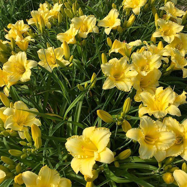 Daylilies bursting in bloom. #demetrius #daylilies #colors