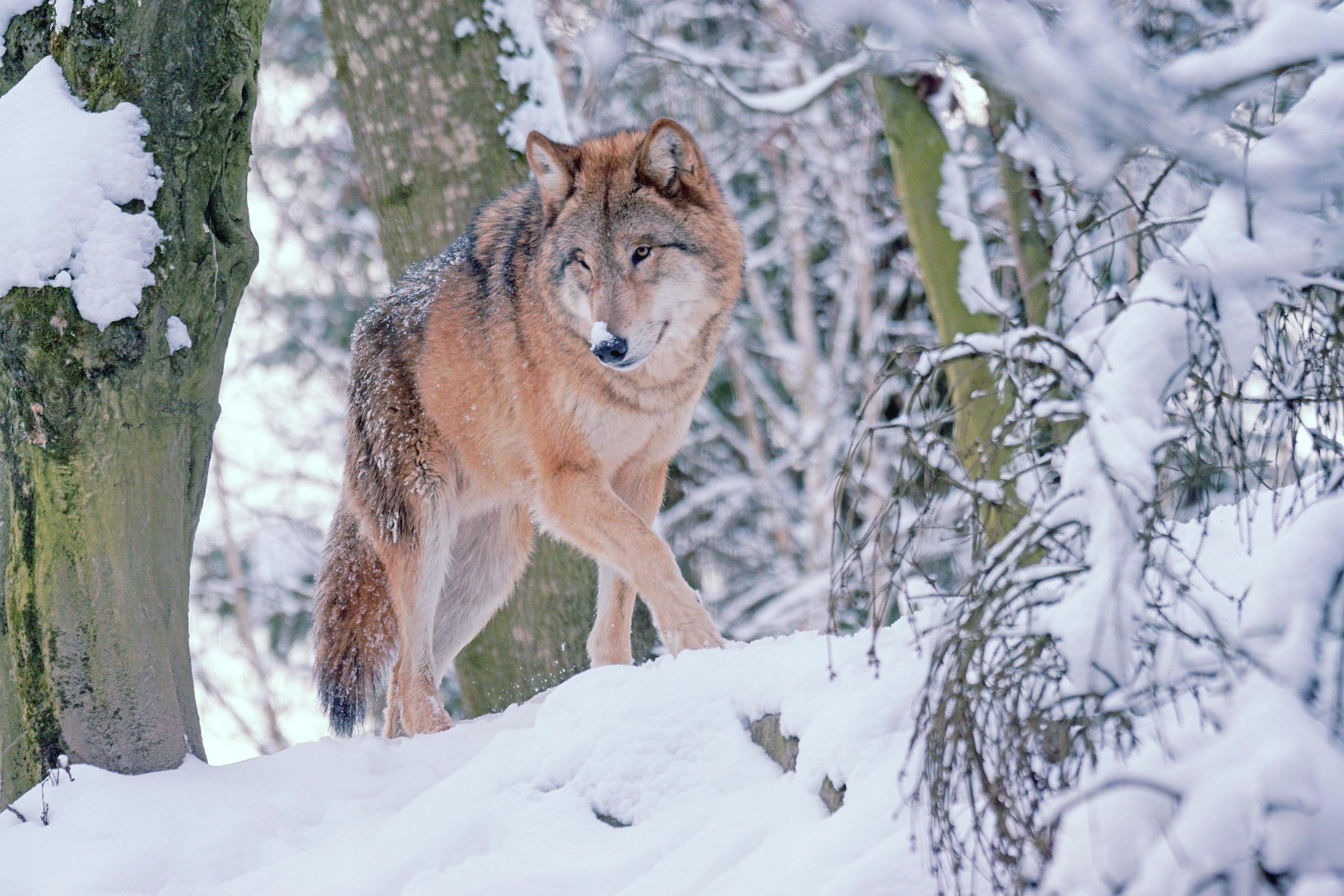 Lobo Creative Studio - Logo Design - Brand Naming - Wolf.jpg