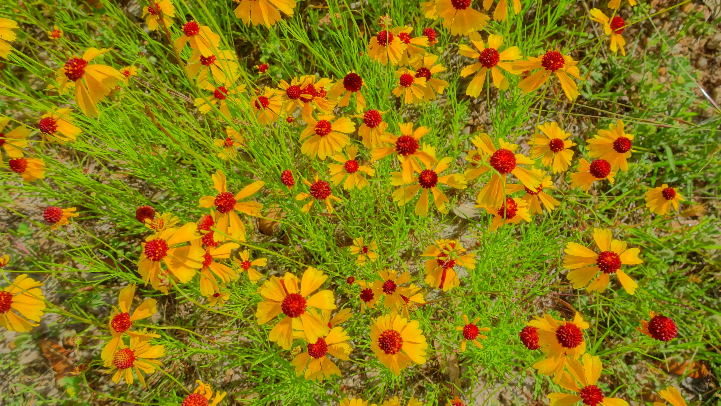 Will Enger - BSAK - Indian Blanket.JPG