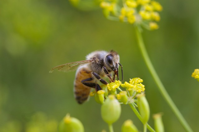 Honeybee ( Keith McDuffee )