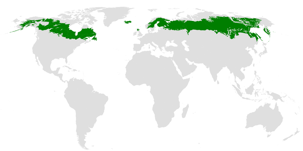 Boreal forests stretch across the Northern Hemisphere from Alaska to Siberia.  Mark Baldwin-Smith/Wikimedia ,  CC BY-SA