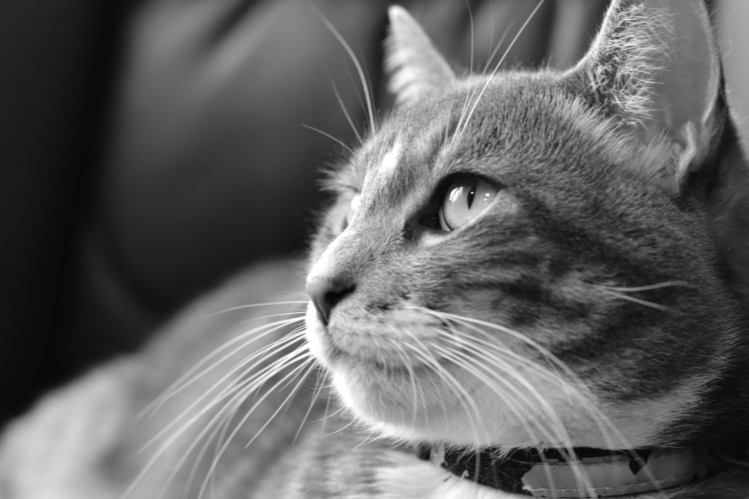 Portrait of Emerson the Cat