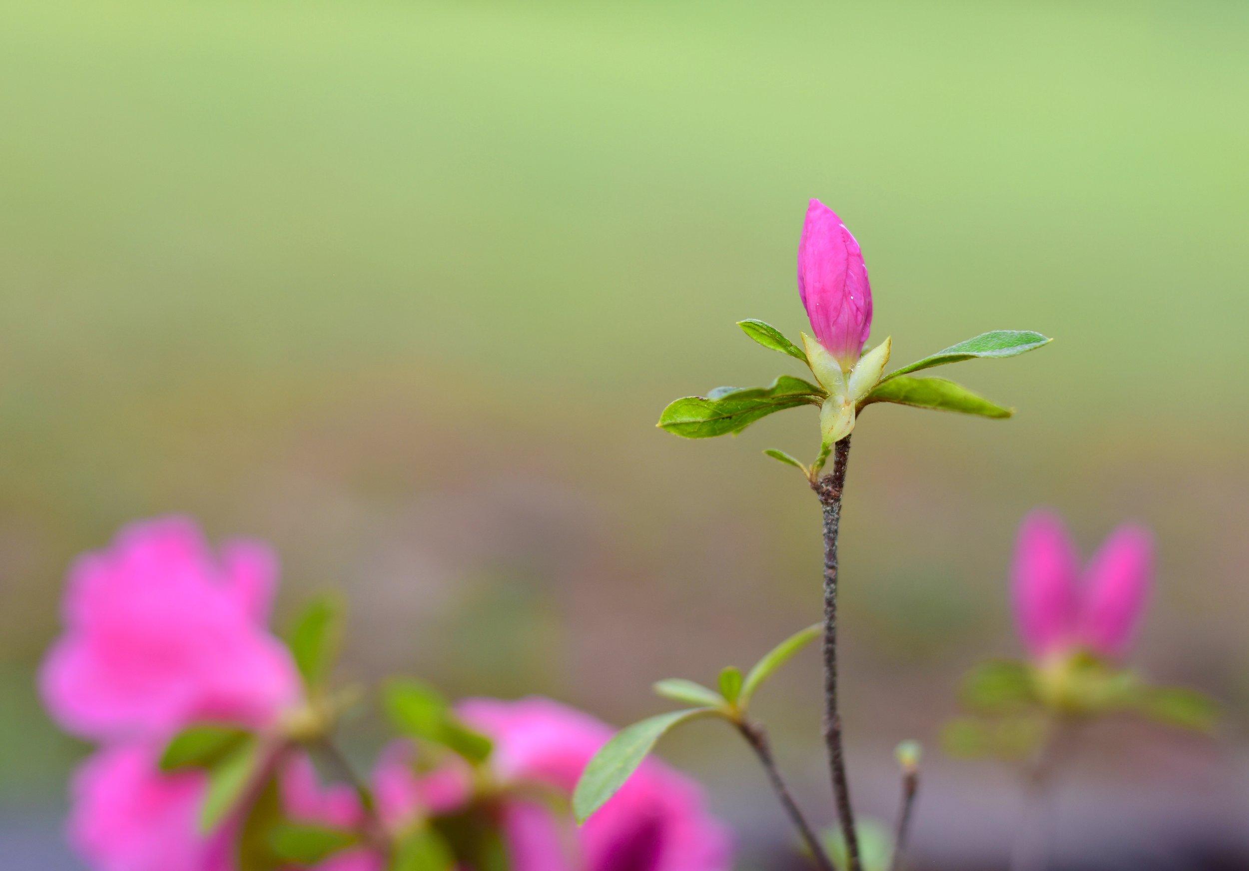 azaleas-spring-2016-b