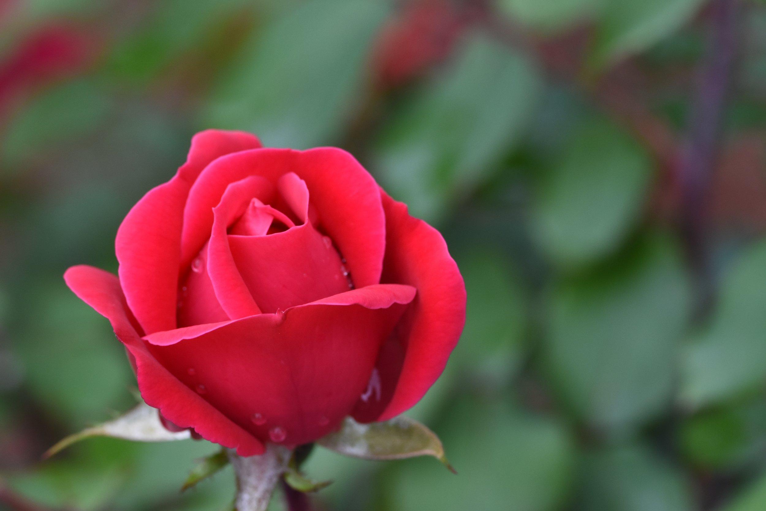Spring Roses in Bloom