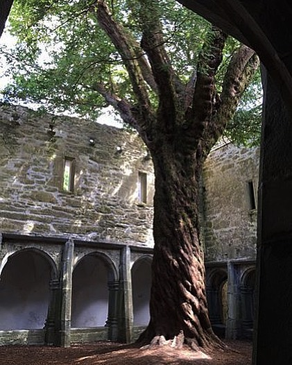 In honor of #earthday here is a picture of the 700 year old yew tree that grows in the center of the cloisters in Muckross Abbey in Killarney, Ireland. Today is a good reminder that we are ultimately deeply linked with nature. With climate change looming and all of our technological advancements, sometimes it can feel like we are more of an invading alien race. But we have every right to be here, we are earth's creatures like any other animal. But with our great capacity for consciousness comes a great responsibility to make compassionate choices to preserve the health of our home. Eat less meat, compost, support environmental reform, do your part. If we stopped putting carbon into the atmosphere today, it would only take 20 years for carbon levels to reach neutral again. It's achievable, we can do this if we make a plan and work together. #earthday #ireland #irishhistory #celtichistory