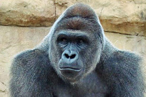 gorilla-pic.jpg