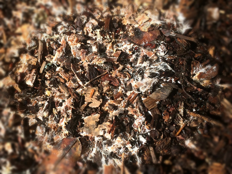 mycelium-growin-in-bark-mulch.jpg