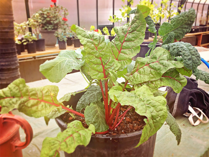 Adopt a pot - Most pots contain a combination of collards, kale, swiss chard, lettuce, spinach, edible flowers-nasturtium or calendula, mustard greens.Happy Digging and see you at SEEDY Saturday Nelson!
