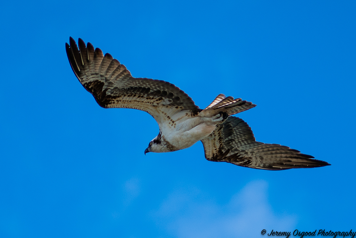 Osprey on the hunt at Bahia Honda State Park
