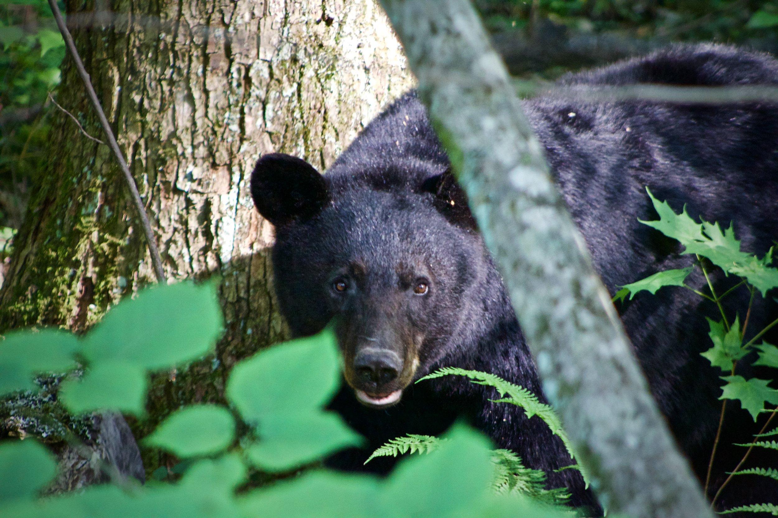 Black Bear Great Smoky Mountain National Park.