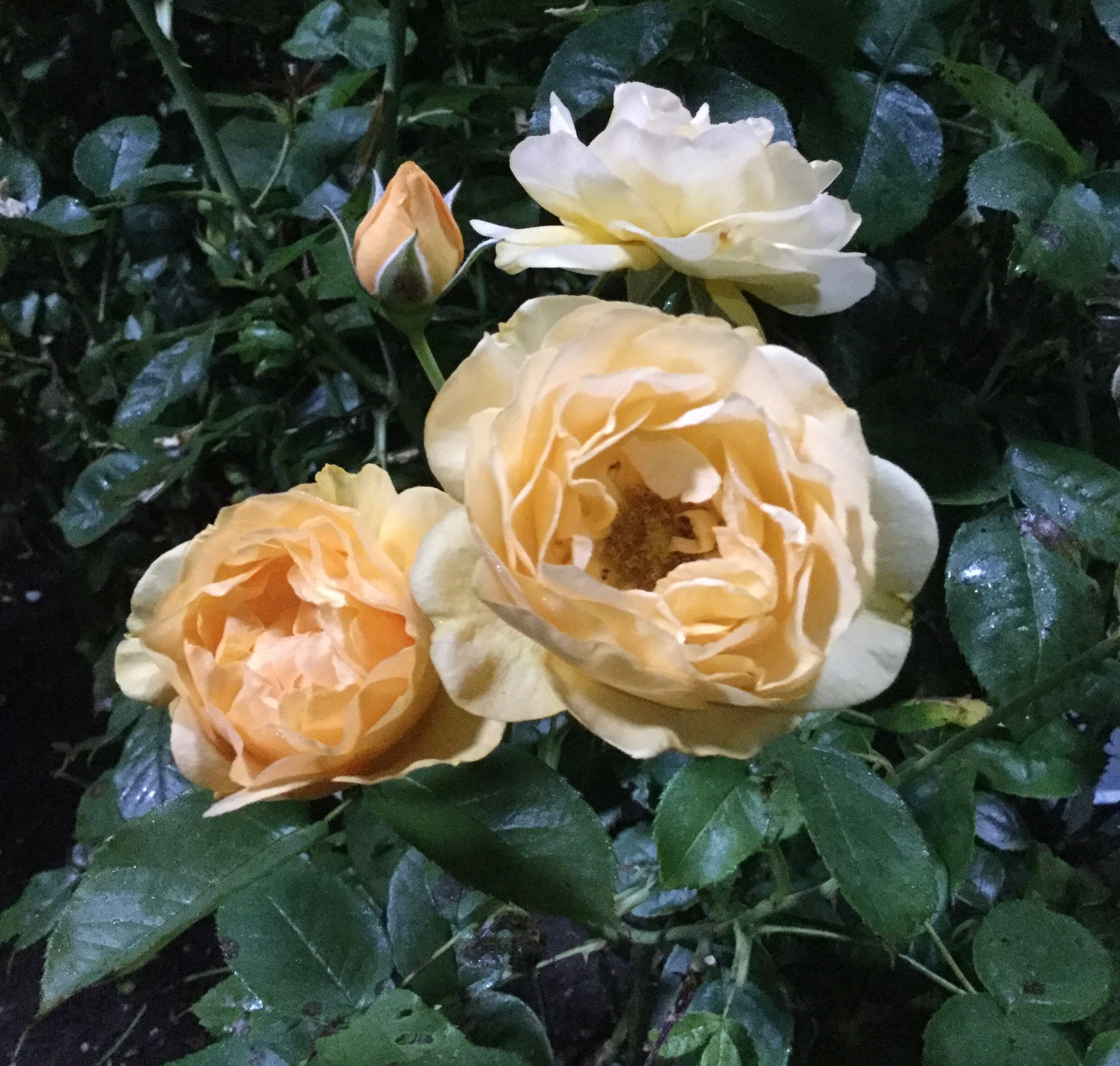 Yellow Roses at Night